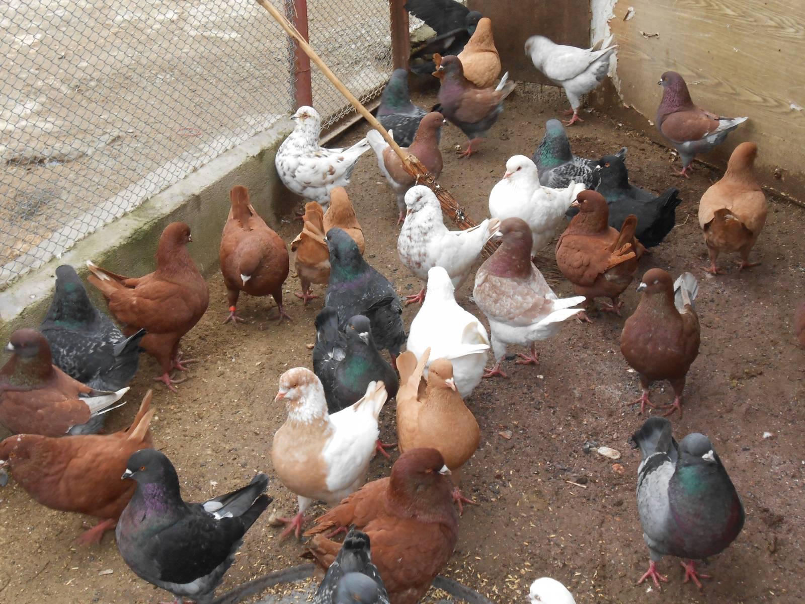 Как разводить голубей в домашних условиях